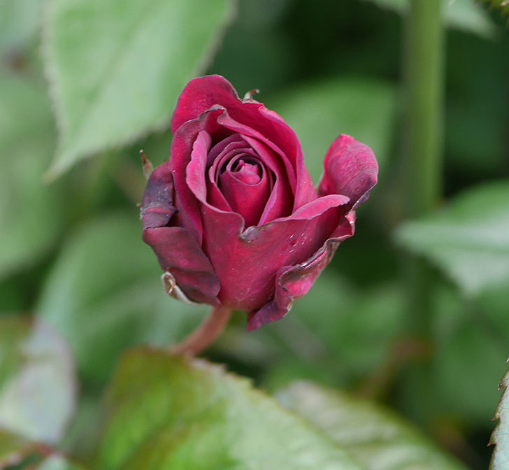 ライラ(半ツルバラ)の3個目の花が咲きだした。2020年-4.jpg