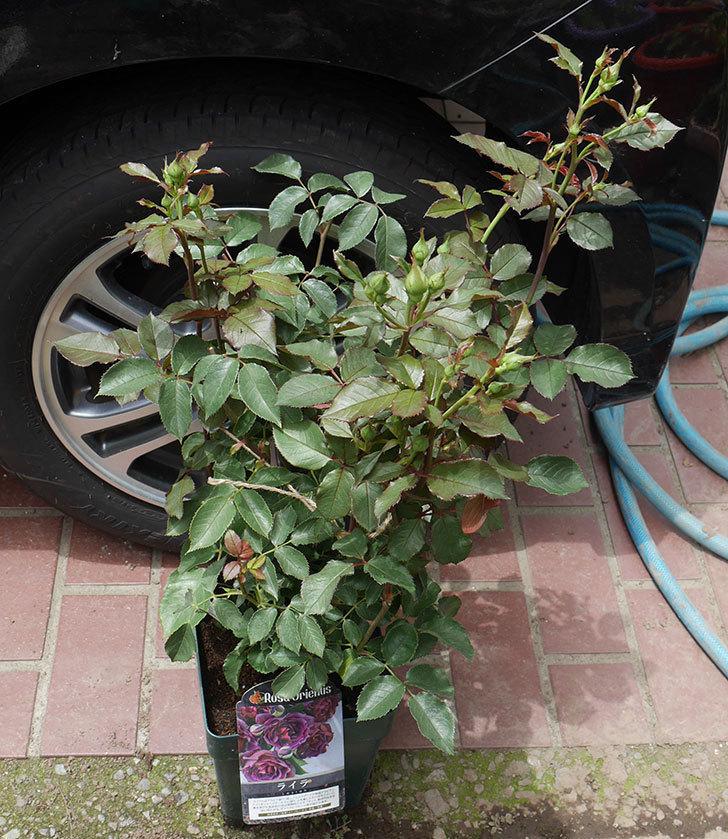 ライラ(半ツルバラ)の大苗を楽天のバラの家で買った。2019年-1.jpg