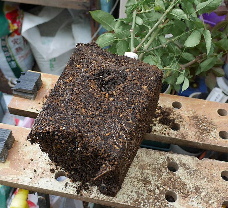 ライラ(半ツルバラ)の大苗をEUスリット鉢-EU-24L(8号深鉢)に植え換えた。2019年-1.jpg