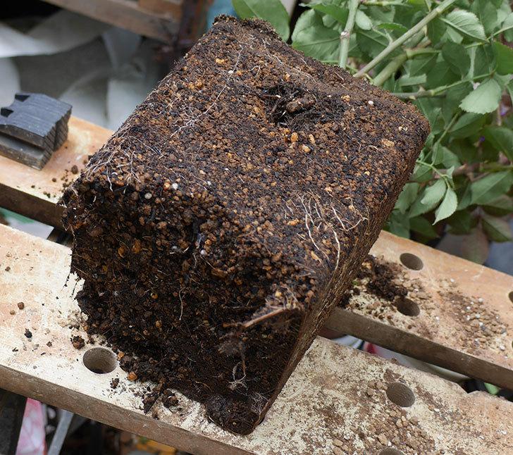 ライラ(半ツルバラ)の大苗をEUスリット鉢-EU-24L(8号深鉢)に植え換えた。2019年-2.jpg