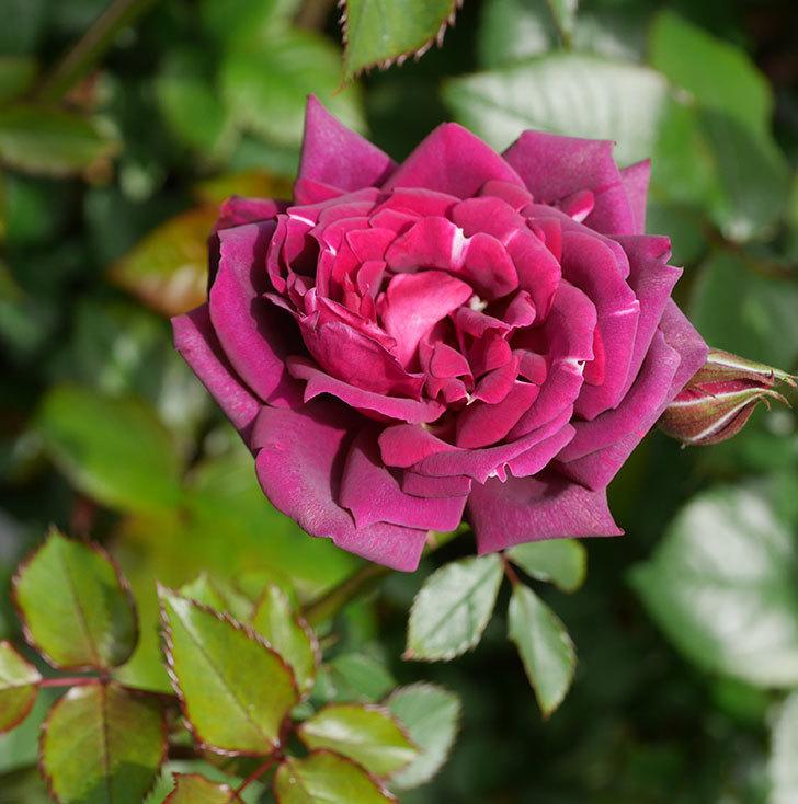 ライラ(半ツルバラ)の花が1個咲いた。2020年-1.jpg
