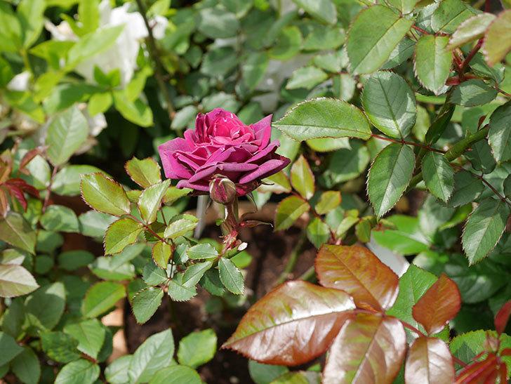 ライラ(半ツルバラ)の花が1個咲いた。2020年-2.jpg