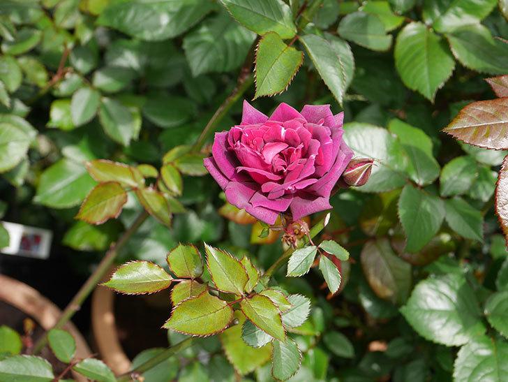 ライラ(半ツルバラ)の花が1個咲いた。2020年-4.jpg