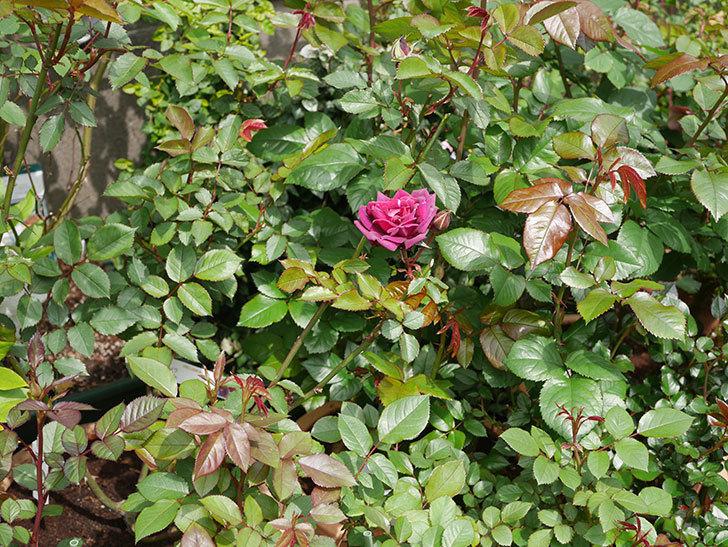 ライラ(半ツルバラ)の花が1個咲いた。2020年-5.jpg
