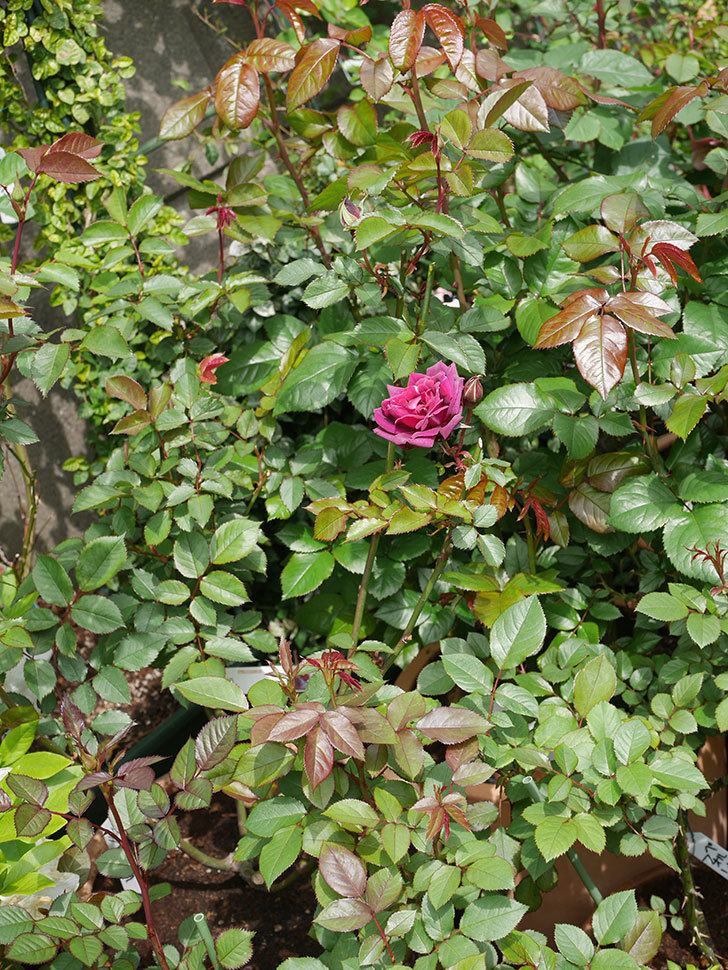 ライラ(半ツルバラ)の花が1個咲いた。2020年-6.jpg