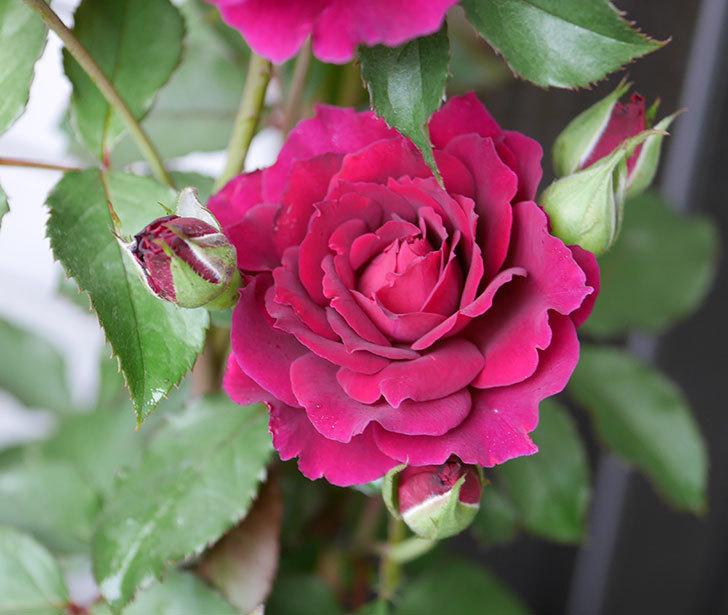 ライラ(半ツルバラ)の花が咲いた。2019年-1.jpg