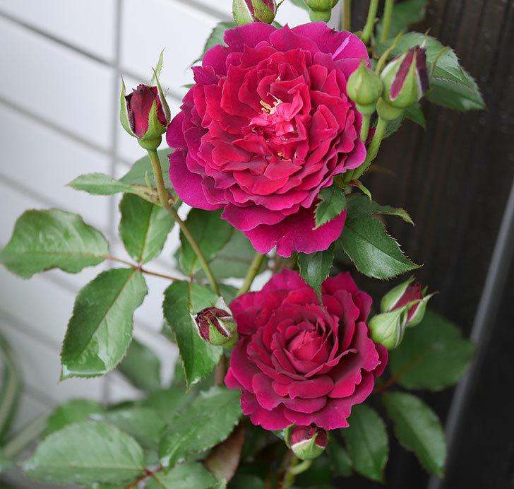 ライラ(半ツルバラ)の花が咲いた。2019年-2.jpg