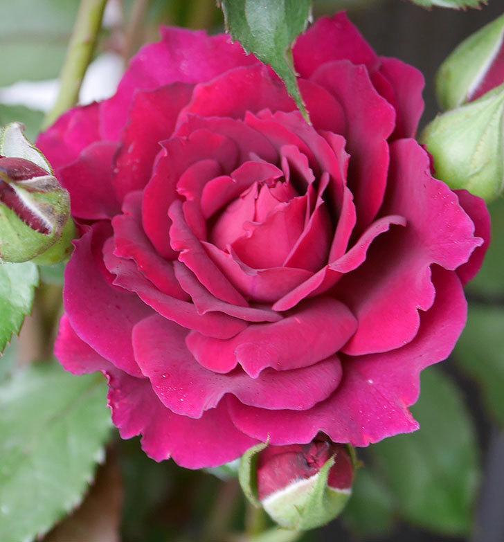 ライラ(半ツルバラ)の花が咲いた。2019年-3.jpg