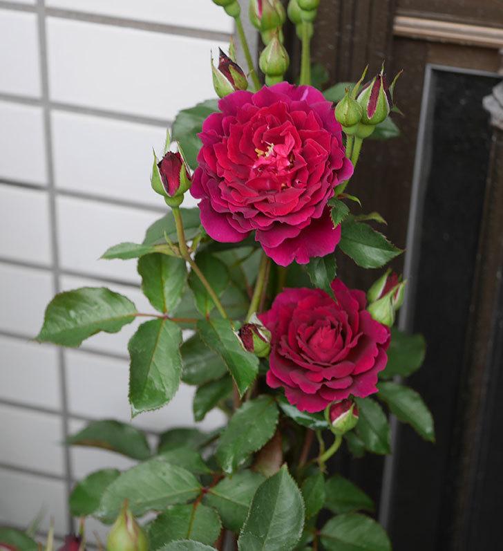 ライラ(半ツルバラ)の花が咲いた。2019年-5.jpg
