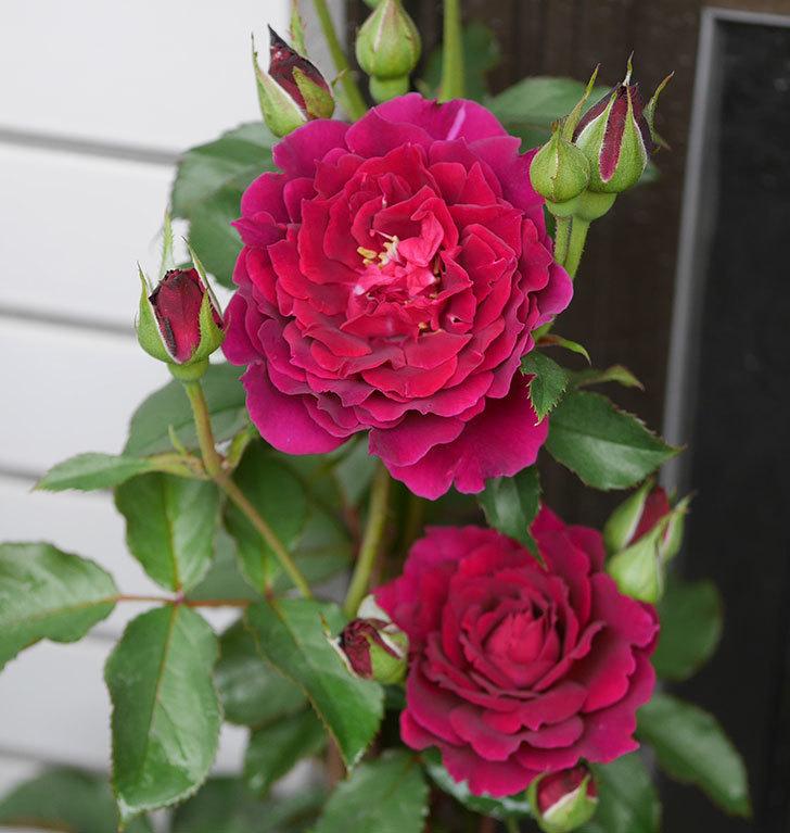 ライラ(半ツルバラ)の花が咲いた。2019年-7.jpg