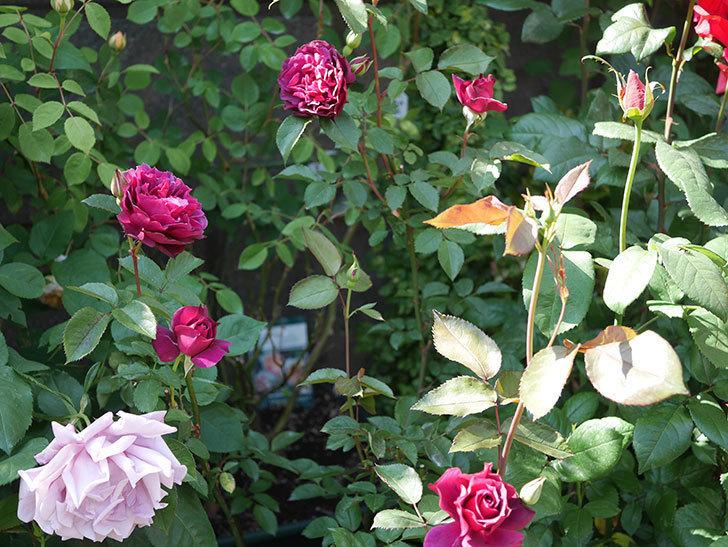 ライラ(半ツルバラ)の花が増えてきた。2020年-1.jpg