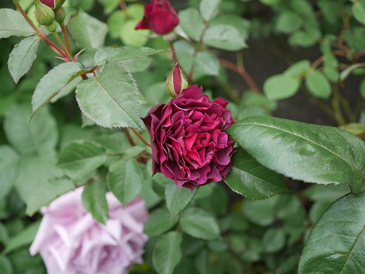 ライラ(半ツルバラ)の花が増えてきた。2020年-11.jpg