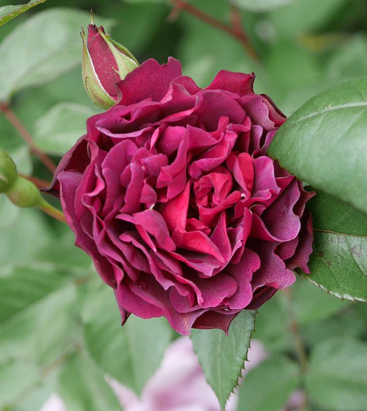ライラ(半ツルバラ)の花が増えてきた。2020年-12.jpg