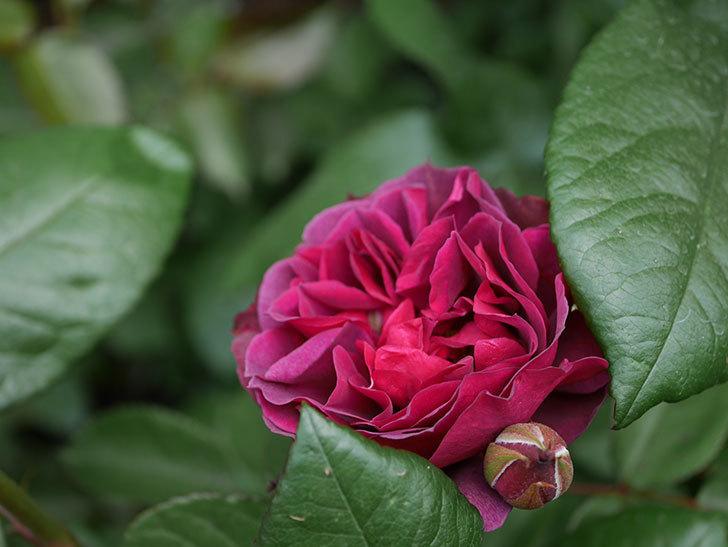 ライラ(半ツルバラ)の花が増えてきた。2020年-13.jpg