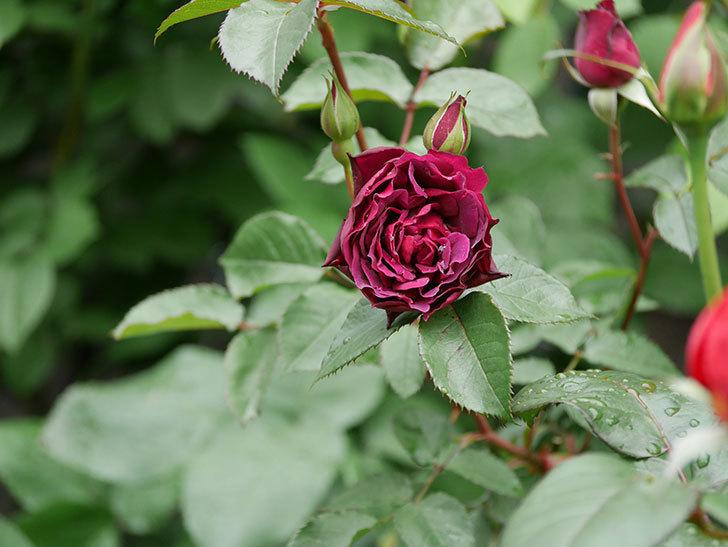 ライラ(半ツルバラ)の花が増えてきた。2020年-15.jpg