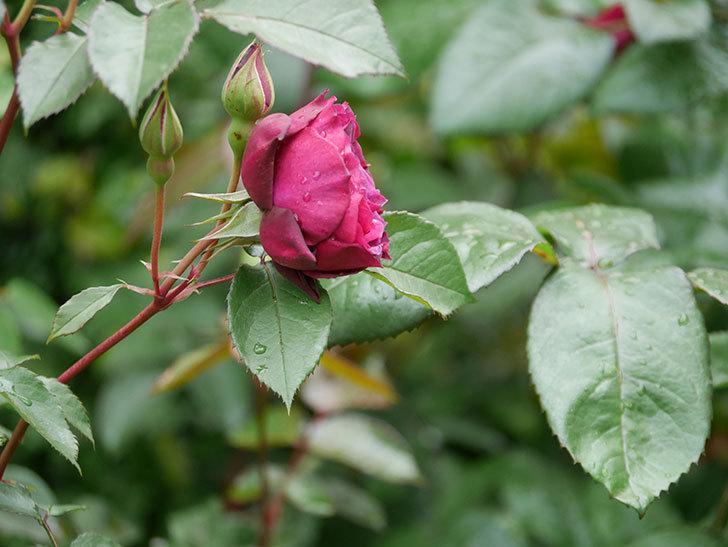 ライラ(半ツルバラ)の花が増えてきた。2020年-19.jpg