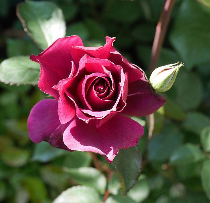 ライラ(半ツルバラ)の花が増えてきた。2020年-2.jpg