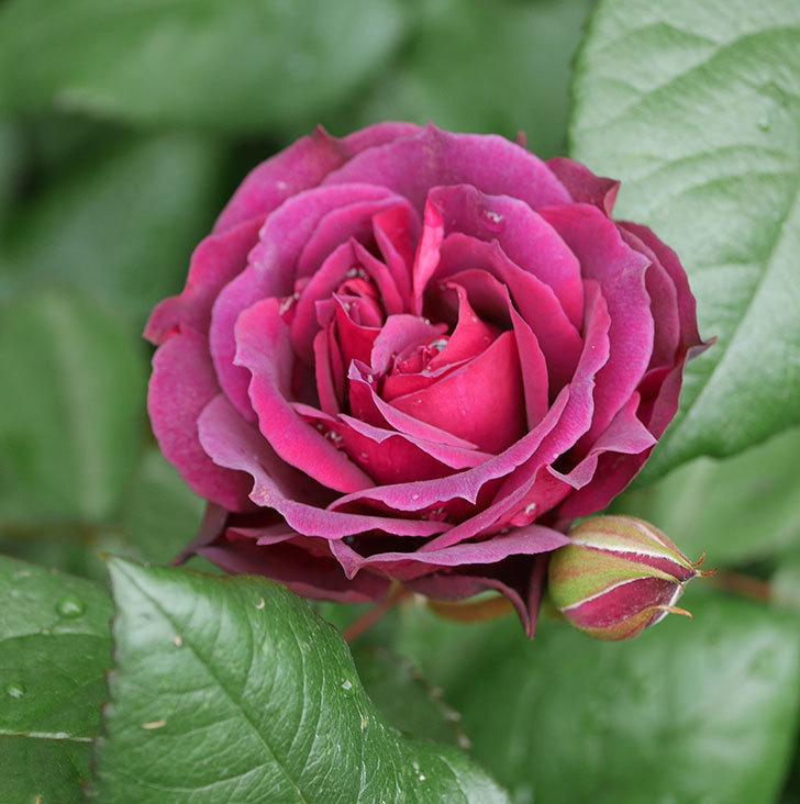 ライラ(半ツルバラ)の花が増えてきた。2020年-20.jpg