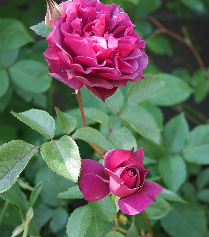 ライラ(半ツルバラ)の花が増えてきた。2020年-3.jpg