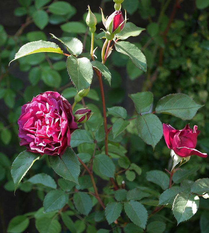ライラ(半ツルバラ)の花が増えてきた。2020年-4.jpg