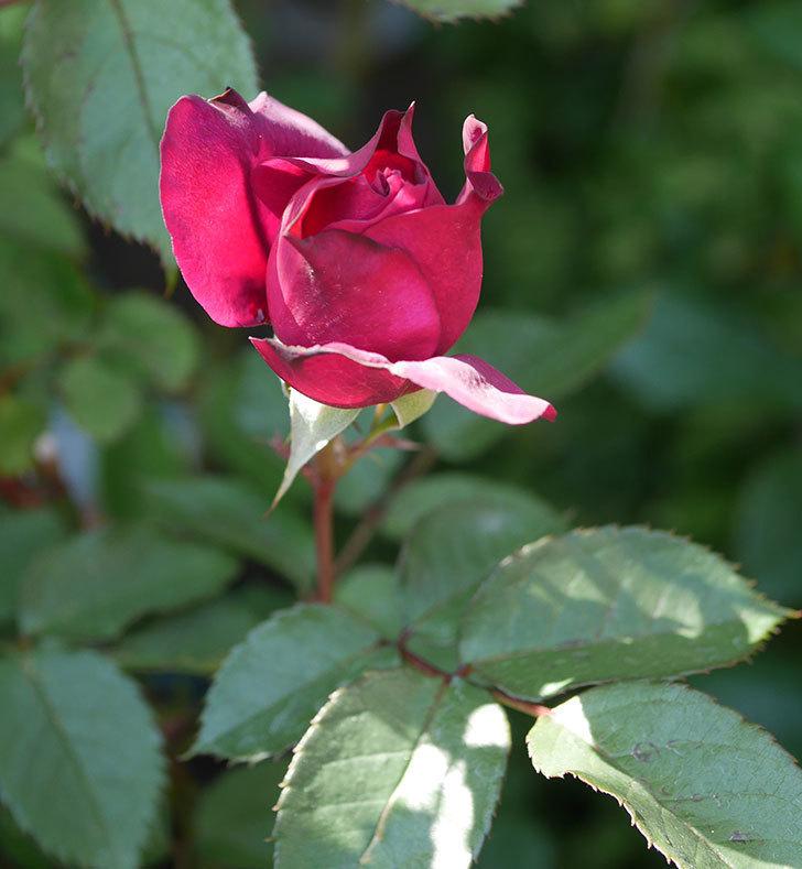 ライラ(半ツルバラ)の花が増えてきた。2020年-5.jpg