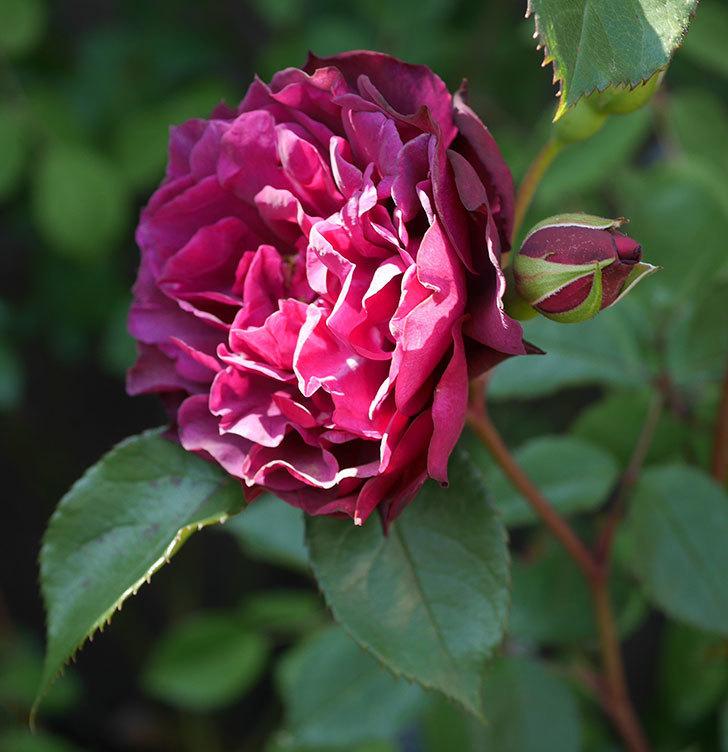 ライラ(半ツルバラ)の花が増えてきた。2020年-6.jpg