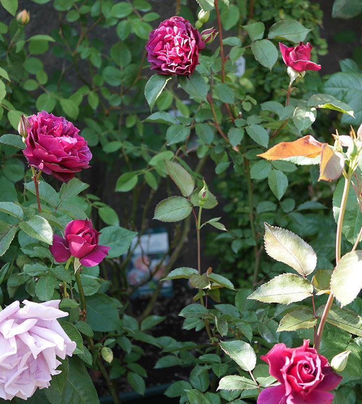 ライラ(半ツルバラ)の花が増えてきた。2020年-7.jpg