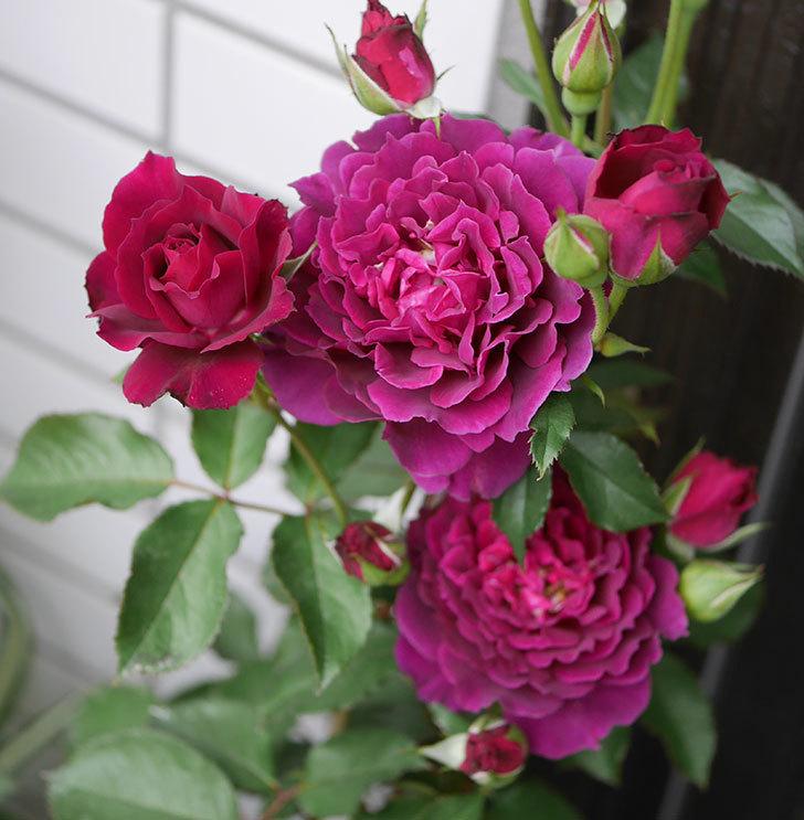 ライラ(半ツルバラ)の花が増えて来た。2019年-1.jpg