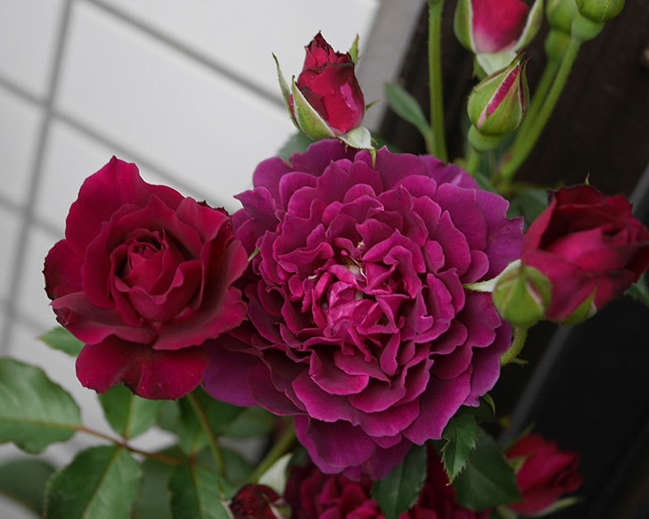 ライラ(半ツルバラ)の花が増えて来た。2019年-2.jpg