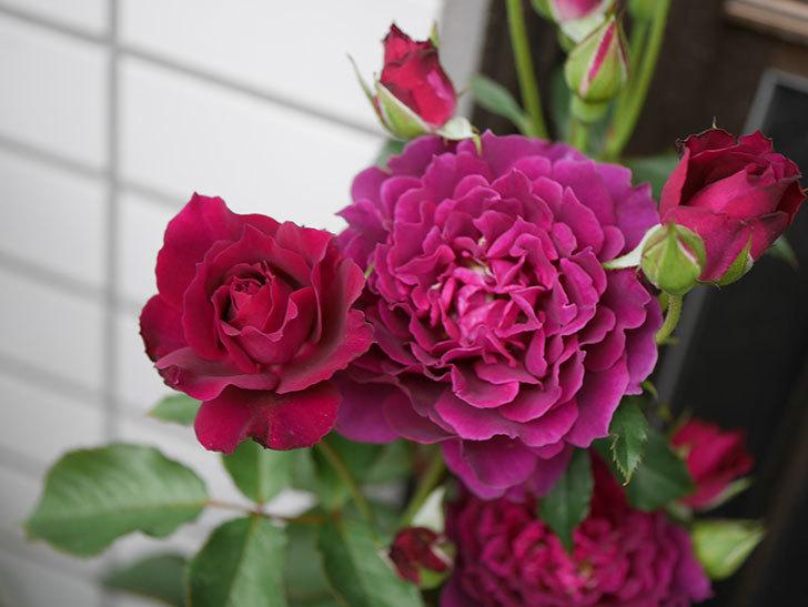 ライラ(半ツルバラ)の花が増えて来た。2019年-3.jpg