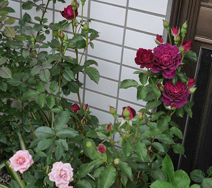 ライラ(半ツルバラ)の花が増えて来た。2019年-7.jpg