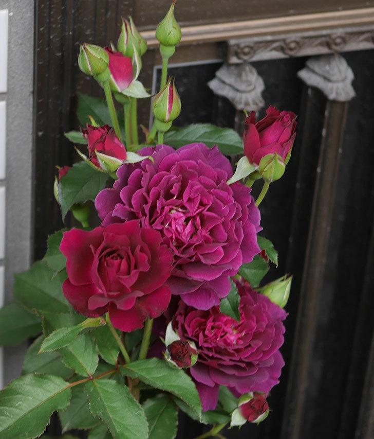 ライラ(半ツルバラ)の花が増えて来た。2019年-9.jpg