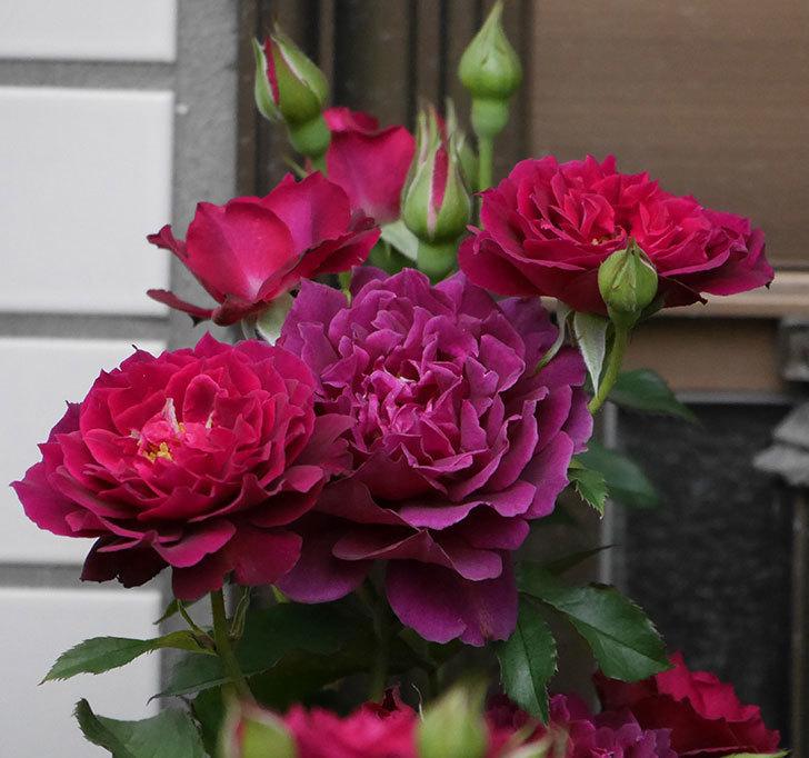 ライラ(半ツルバラ)の花が増えて香りが強くなってきた。2019年-1.jpg