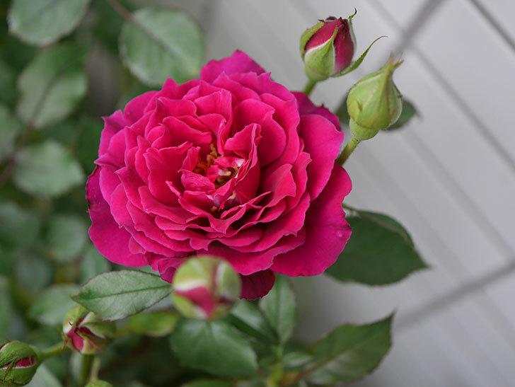 ライラ(半ツルバラ)の花が増えて香りが強くなってきた。2019年-10.jpg
