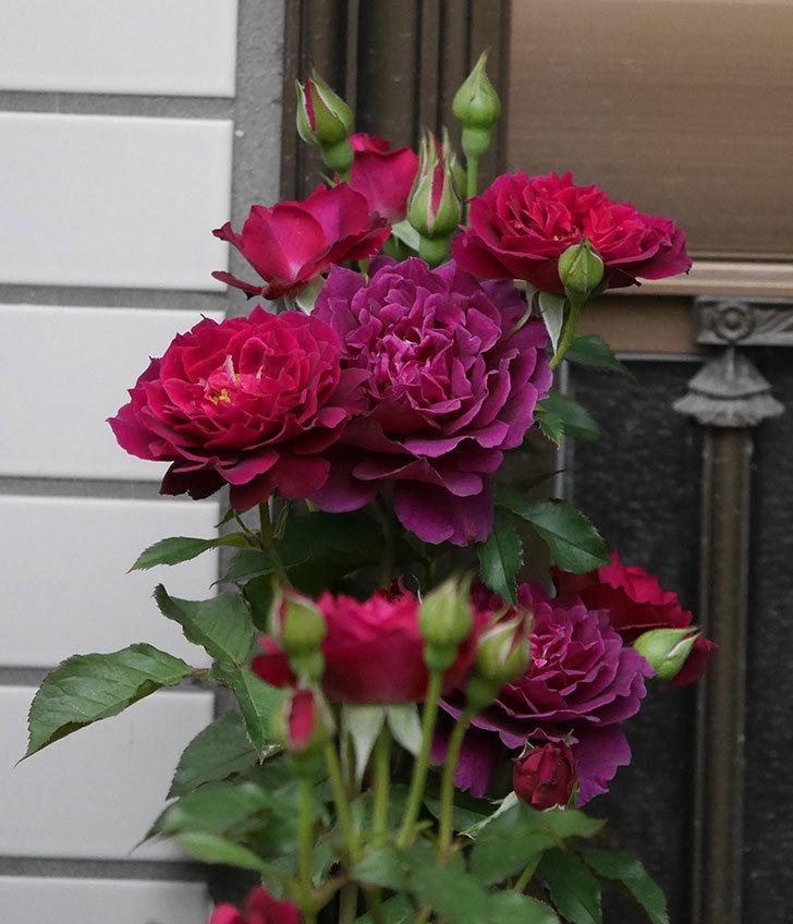 ライラ(半ツルバラ)の花が増えて香りが強くなってきた。2019年-2.jpg