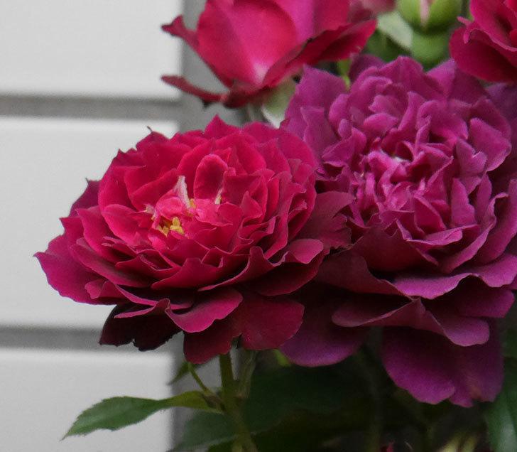 ライラ(半ツルバラ)の花が増えて香りが強くなってきた。2019年-3.jpg