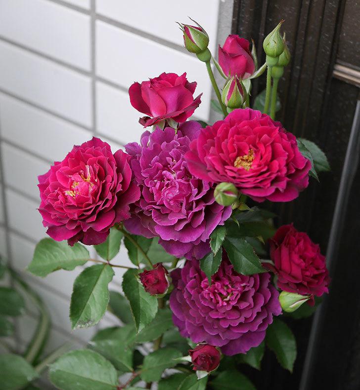 ライラ(半ツルバラ)の花が増えて香りが強くなってきた。2019年-4.jpg