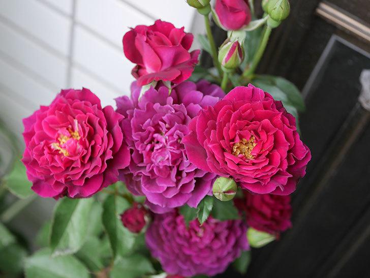 ライラ(半ツルバラ)の花が増えて香りが強くなってきた。2019年-5.jpg