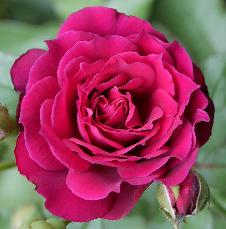 ライラ(半ツルバラ)の花が増えて香りが強くなってきた。2019年-8.jpg