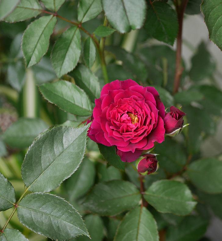 ライラ(半ツルバラ)の花が増えて香りが強くなってきた。2019年-9.jpg