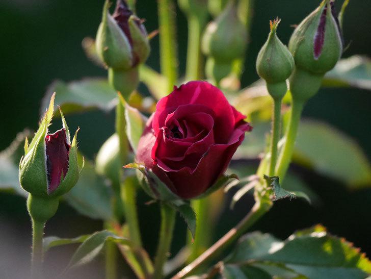 ライラ(半ツルバラ)の花が少し咲いた。2019年-1.jpg