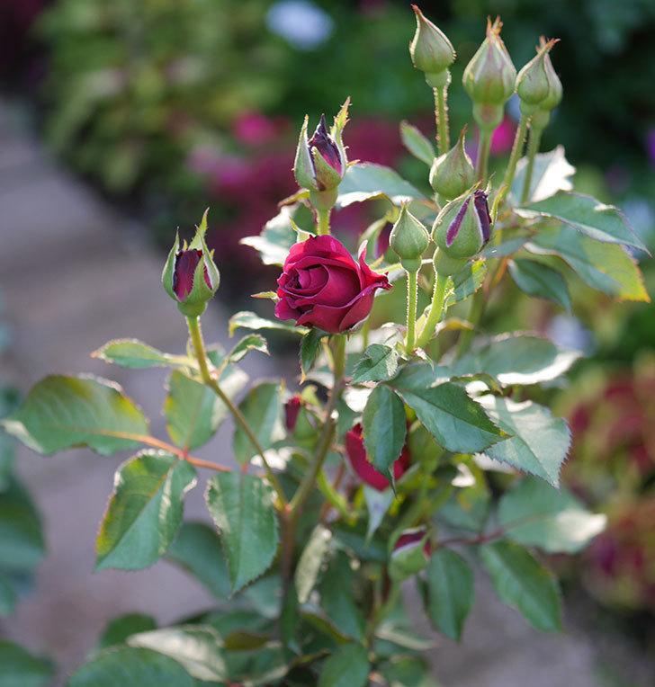 ライラ(半ツルバラ)の花が少し咲いた。2019年-11.jpg