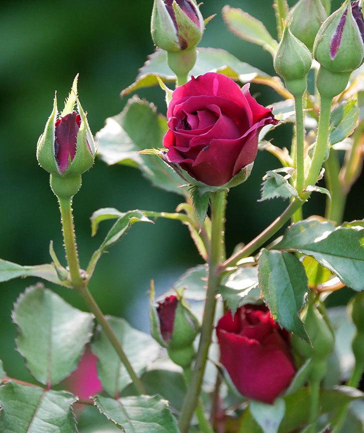 ライラ(半ツルバラ)の花が少し咲いた。2019年-6.jpg