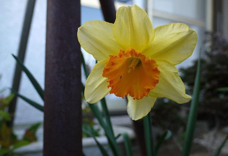 ラッパスイセンが咲いた。2015年-1.jpg