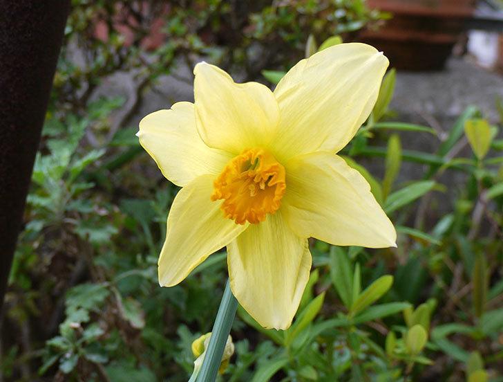 ラッパスイセンが咲いた。2016年-1.jpg