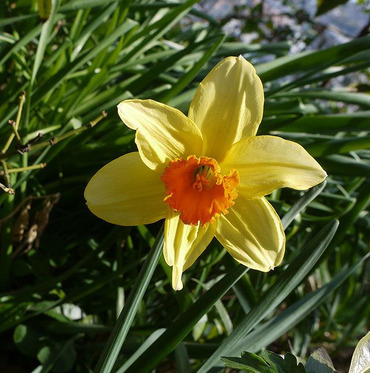 ラッパスイセンが咲いた。2017年-1.jpg