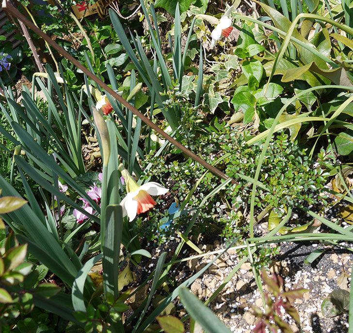 ラッパスイセンが咲いた。2017年-5.jpg