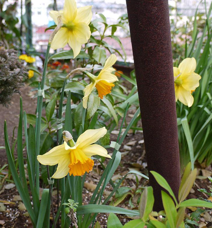 ラッパスイセンが綺麗に咲いた。2016年-2.jpg