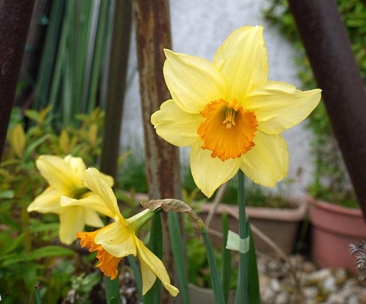ラッパスイセンが綺麗に咲いた。2016年-4.jpg