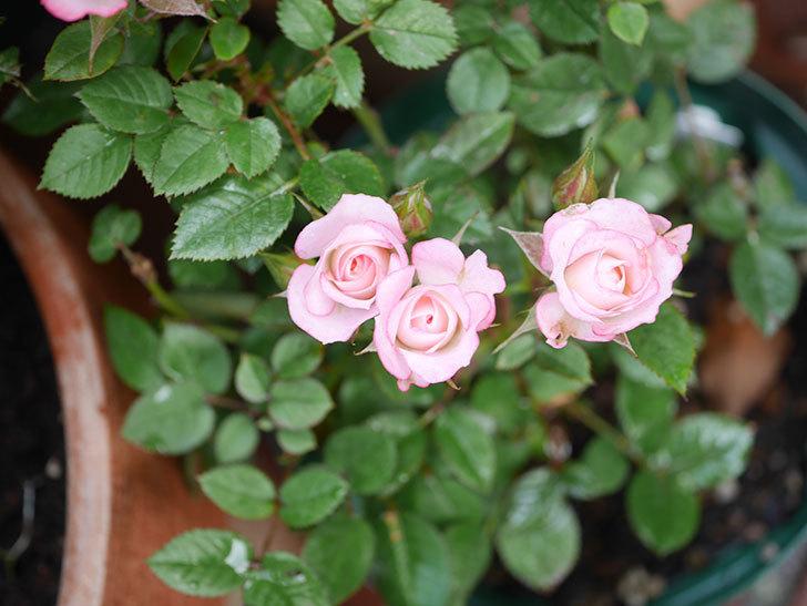 ラブリープリンセス・オプティマ(Lovely princess Optima)の2番花が咲いた。ミニバラ。2020年-001.jpg